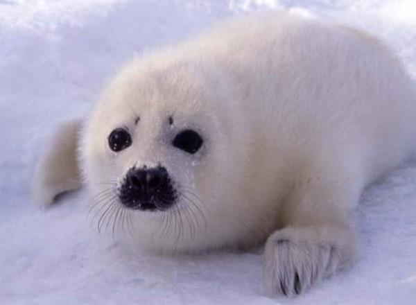 Охота на детенышей тюленя в России полностью запрещена - Animal Style - Поводок